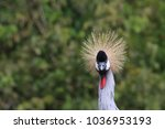 A East African Crown Crane...