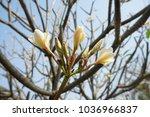 Plumeria Known As
