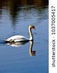 mute swan on a pond | Shutterstock . vector #1037005417