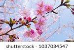 sakura flower in spring season | Shutterstock . vector #1037034547