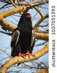 Small photo of Bateleur eagle on thick branch staring out