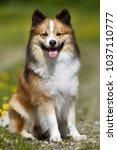 purebred icelandic sheepdog... | Shutterstock . vector #1037110777