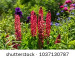 red lupins in a garden | Shutterstock . vector #1037130787