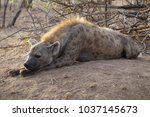 hyena resting in kruger park... | Shutterstock . vector #1037145673