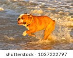 Small photo of Leland, a young British Bulldog, plays on the beach at Lowestoft in England.