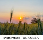 barley field in golden glow of... | Shutterstock . vector #1037238877