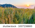 barley field in golden glow of... | Shutterstock . vector #1037238883