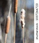 Closeup Of Cattails In A...