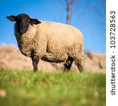 Suffolk Black Faced Sheep  Ovi...
