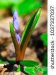 beautiful blue squill closeup | Shutterstock . vector #1037337037