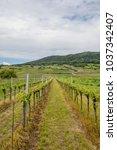green vineyards landscape... | Shutterstock . vector #1037342407