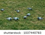 Pigeons Walk On Green Grass....