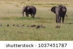 African Elephant And Mongoose...