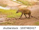 hyena isolate in the savannah... | Shutterstock . vector #1037482417