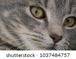 feline face   close up view | Shutterstock . vector #1037484757