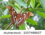 the atlas moth  attacus atlas    Shutterstock . vector #1037488837