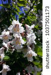 A Blossoming Catalpa Tree With...