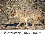 coyote walking near a road in... | Shutterstock . vector #1037616607
