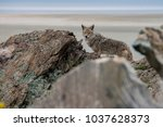 coyote in the rocks looking for ... | Shutterstock . vector #1037628373