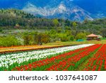 tulip garden in the valley of... | Shutterstock . vector #1037641087