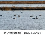 tundra swan on a lake in... | Shutterstock . vector #1037666497