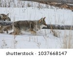 coyote walking in the snow | Shutterstock . vector #1037668147