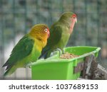 Small photo of Couples of agapornis in the Park