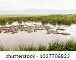 common hippopotamus ... | Shutterstock . vector #1037706823