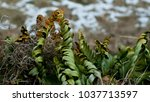 Small photo of Few plants snuggles together in late winter. Vestigial snow is seen in the background.