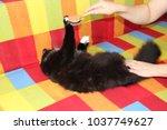 mistress combing her cat.... | Shutterstock . vector #1037749627