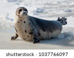 A large harp seal lays on an...