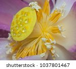 Small photo of Stamen & axile process of lotus flower