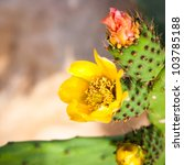 Closeup of yellow Opuntia ficus-indica flowers - stock photo
