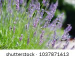 lovender in back light. bright  ... | Shutterstock . vector #1037871613