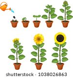 sunflower life cycle. growth... | Shutterstock .eps vector #1038026863