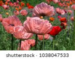 fresh beautiful pink poppies on ... | Shutterstock . vector #1038047533