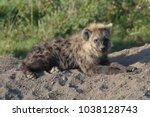hyena lying on ground  | Shutterstock . vector #1038128743