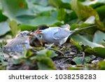 common tern  sterna hirundo ... | Shutterstock . vector #1038258283