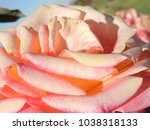 Small photo of Macro up-close view of a off-color beige and pink rose flower.