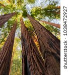 redwoods in muir woods national ... | Shutterstock . vector #1038472927