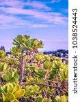 Small photo of Alula Cabbage Volcanic rock plant Big Island Hawaii