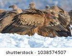 griffon vultures  gyps fulvus ... | Shutterstock . vector #1038574507