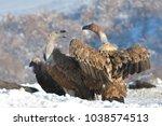 griffon vultures  gyps fulvus ... | Shutterstock . vector #1038574513