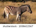 beautiful zebra in etosha... | Shutterstock . vector #1038612367