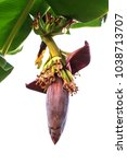 Small photo of Banana inflorescence (Banana flower) with banana leaves on the tree.