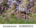 cosmos flowers in sunset | Shutterstock . vector #1038890023