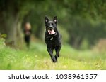 purebred adult dog outdoors in... | Shutterstock . vector #1038961357
