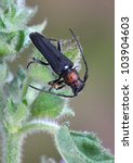 Small photo of Beetle Musaria wachanrui on the plant