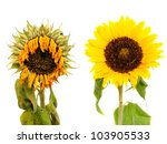 Fresh And Dried Sunflower...