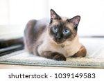 a purebred siamese cat with... | Shutterstock . vector #1039149583